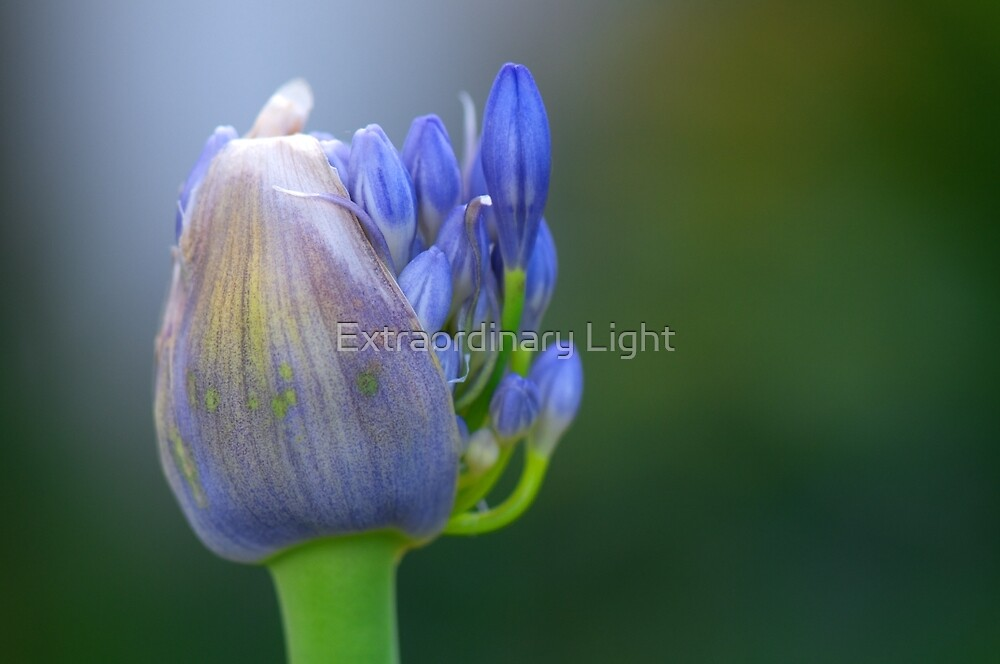 New Agapanthus by Extraordinary Light