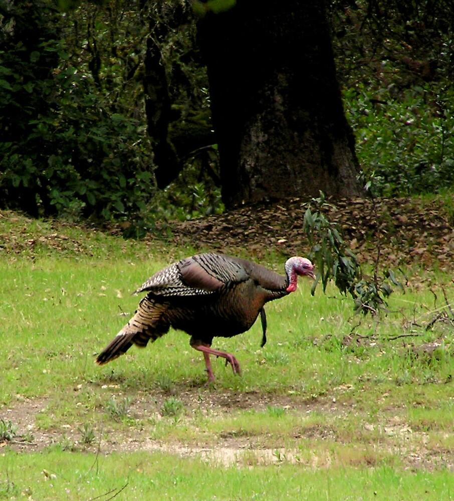 wild turkey by casperk9