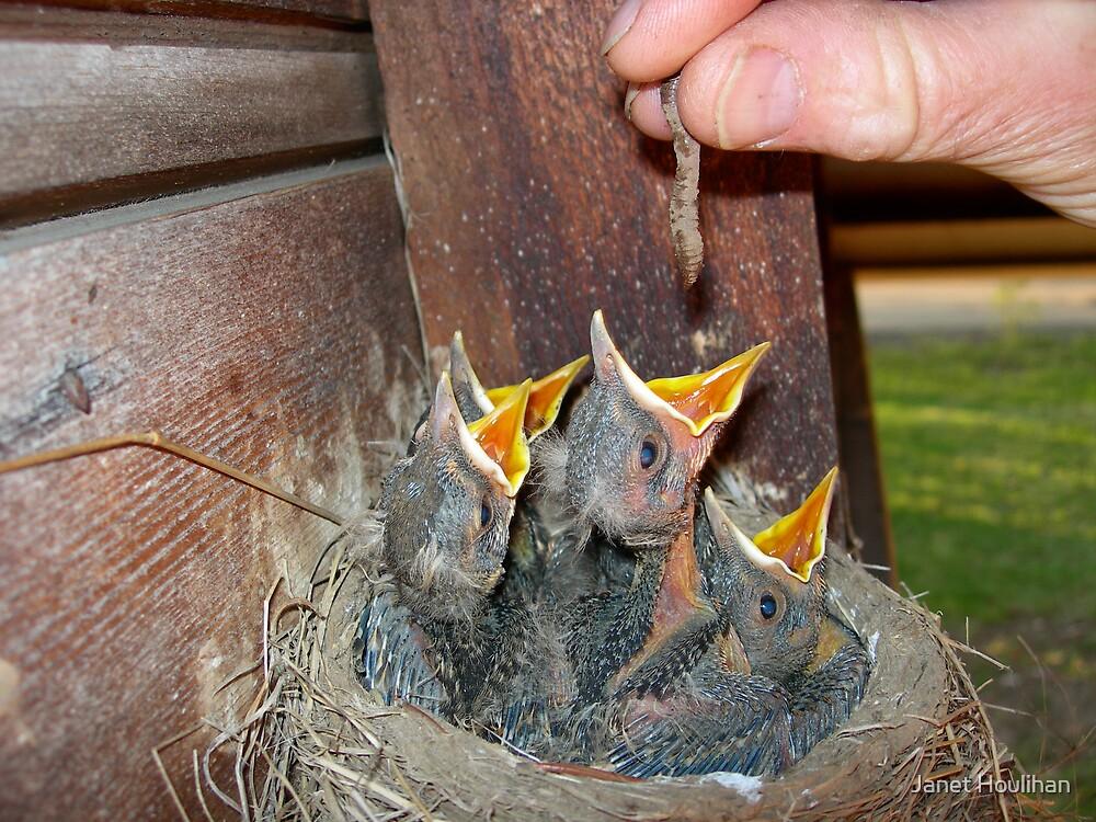 Feeding Baby Robins by Janet Houlihan
