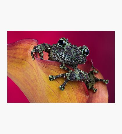 Cheeky mossy frog Photographic Print
