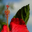 Close Up of Red Hibiscus Stamen and Pollen by taiche