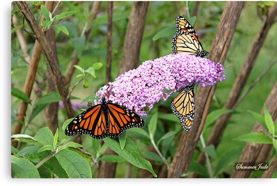 Migration of the Monarch Butterfly  by SummerJade