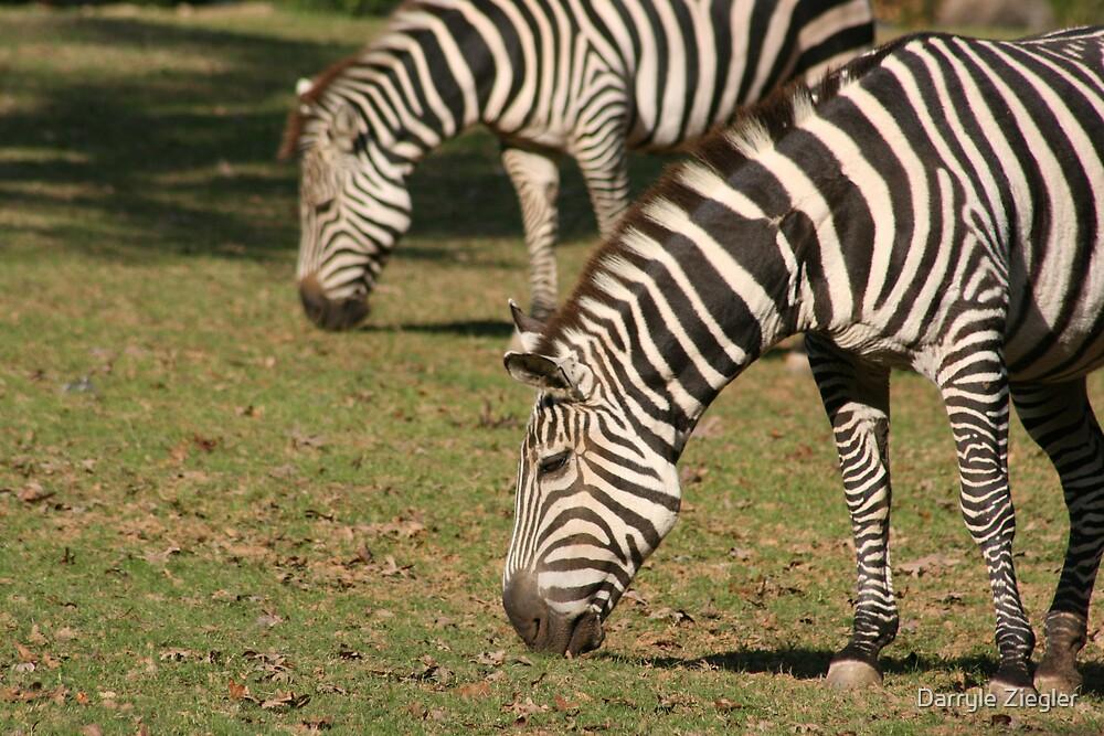 Zebras by Darryle Ziegler