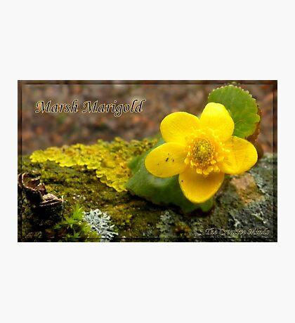 Marsh Marigold  Photographic Print