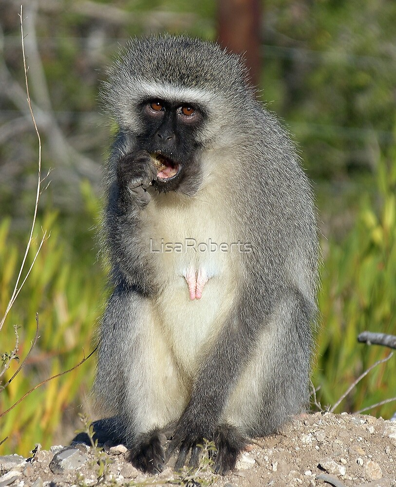 Vervet Monkey, South Africa by LisaRoberts