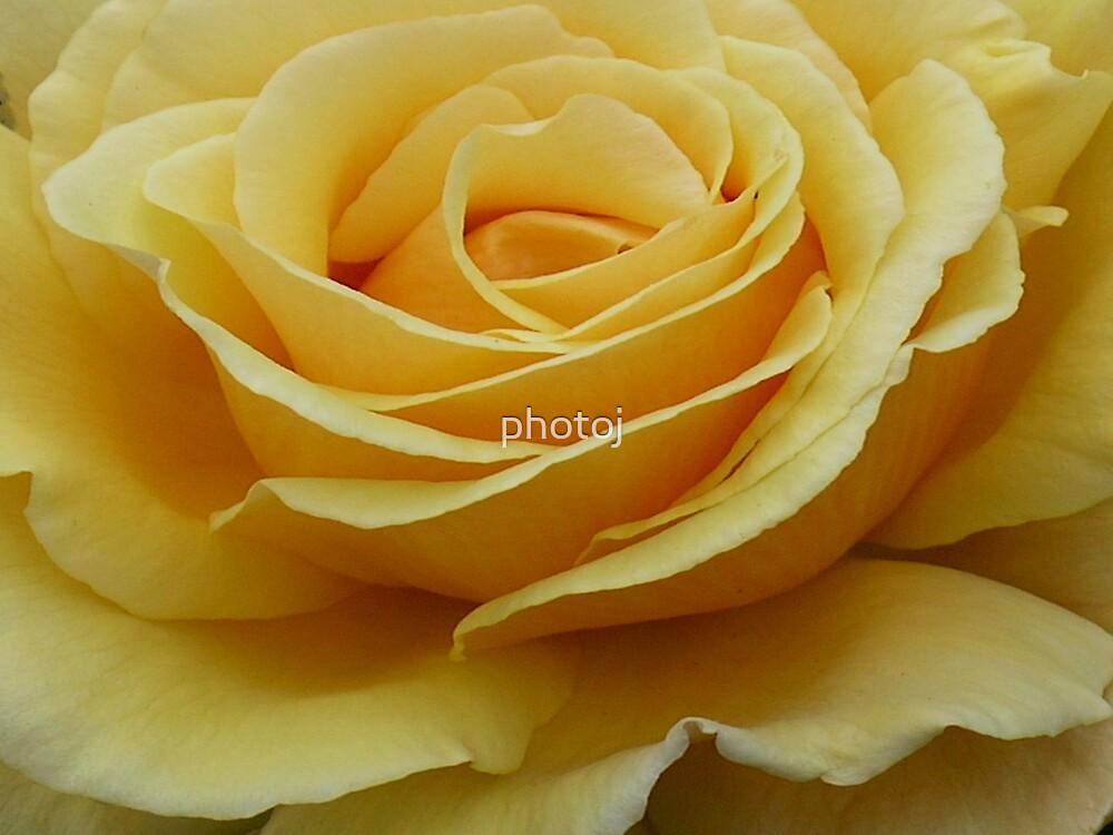 photoj 'Macro Rose' by photoj