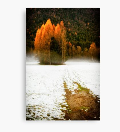 Group of pine trees in the mist Canvas Print