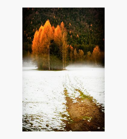 Group of pine trees in the mist Photographic Print