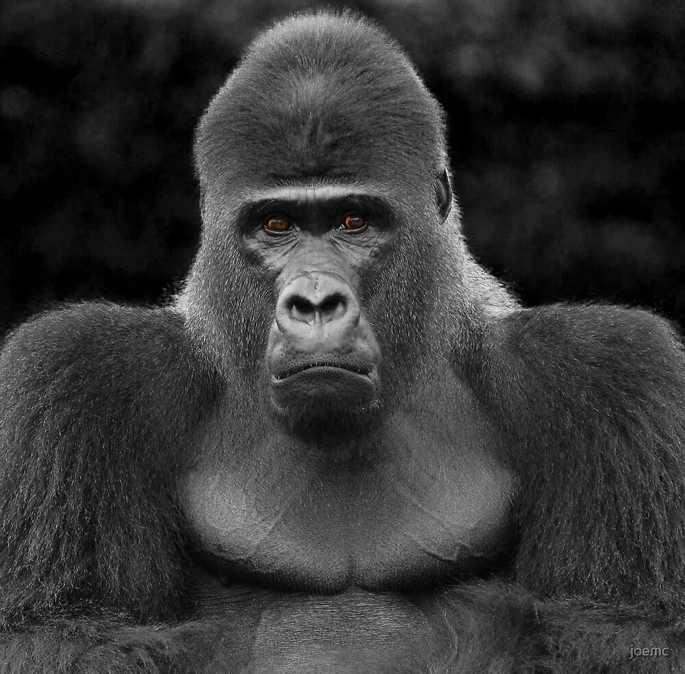 Portrait of a Silverback by joemc