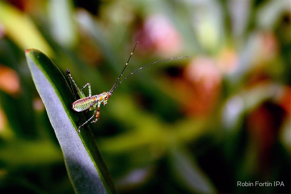 Long horned grasshopper by Robin Fortin IPA