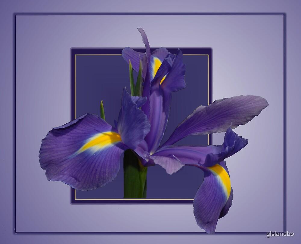 Iris by glslandbo