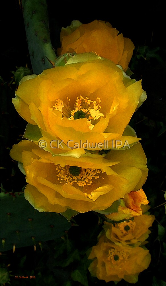 Cactus Flower Song by © CK Caldwell IPA