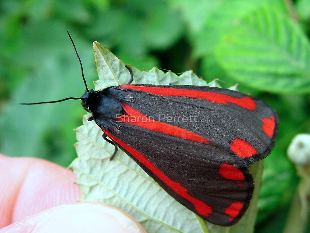 Cinnabar Moth by Sharon Perrett