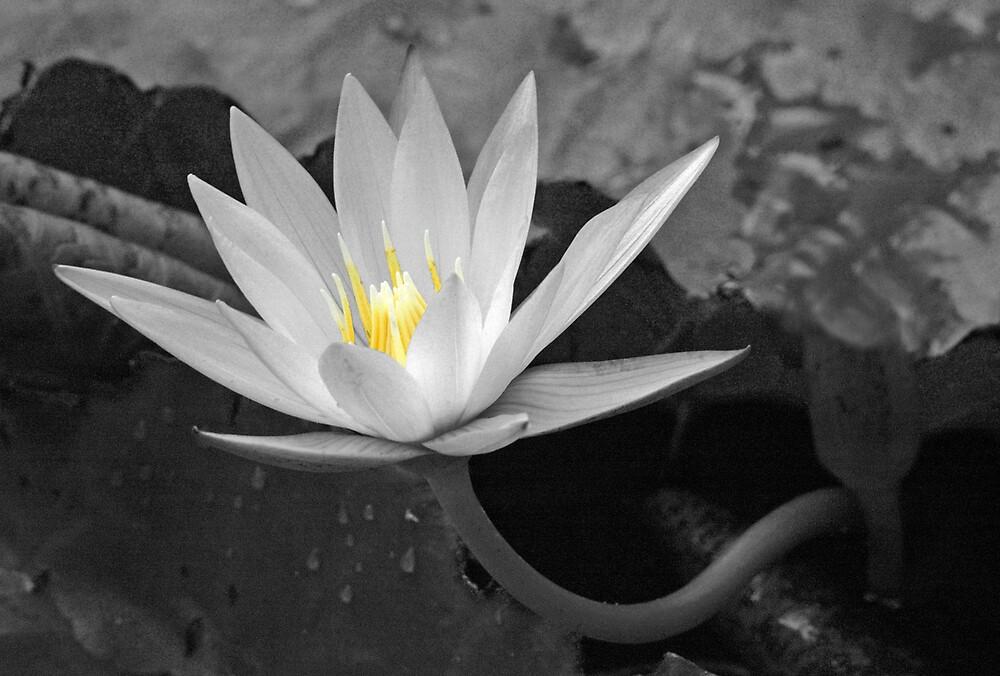 Waterlily by Kay  Hook
