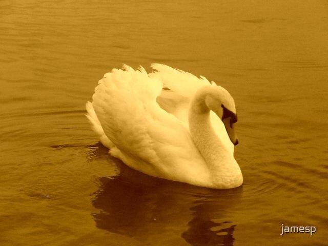Beutiful swan by jamesp