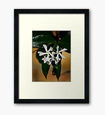 Cluster of Star Jasmine Blossoms Framed Print