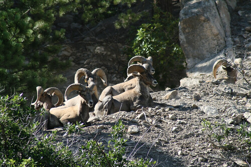 Big Horn Sheep    by JamesMichael