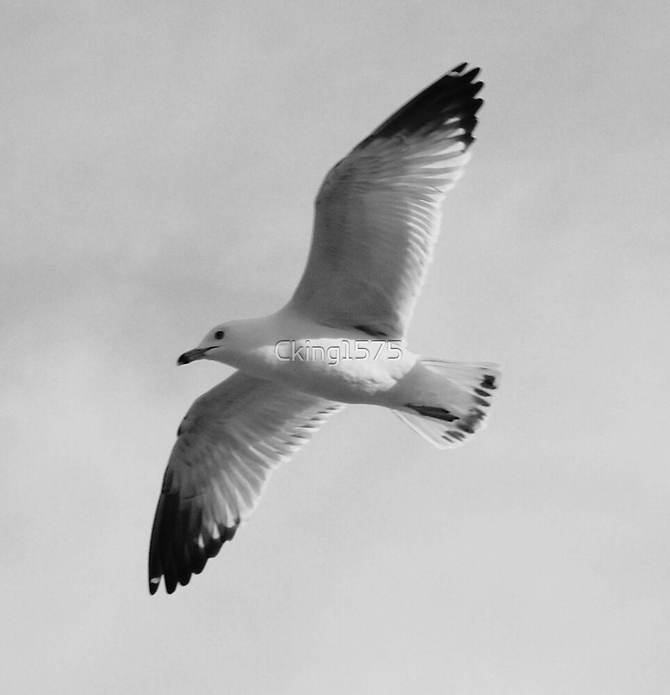 Seagull by Cking1575
