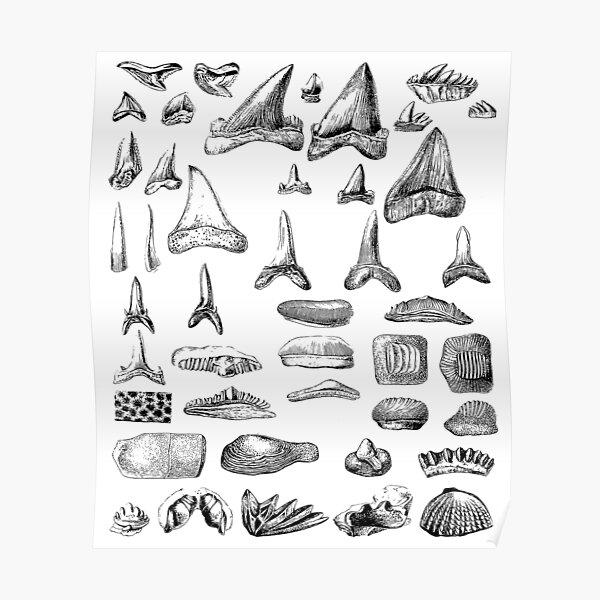 Shark Teeth and Shells Fossils Archeology & Natural History Poster