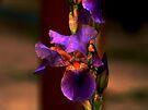 Iris 1 by Vasile Stan
