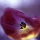 Rainbow flowers indigo tulip 14 by Emergy