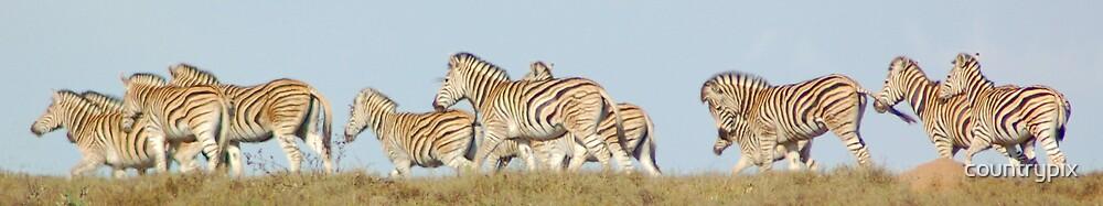Burchells Zebra by countrypix