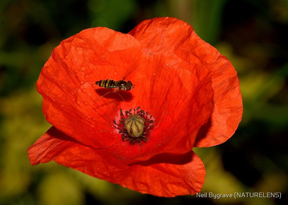 Poppy and Hover Fly by Neil Bygrave (NATURELENS)