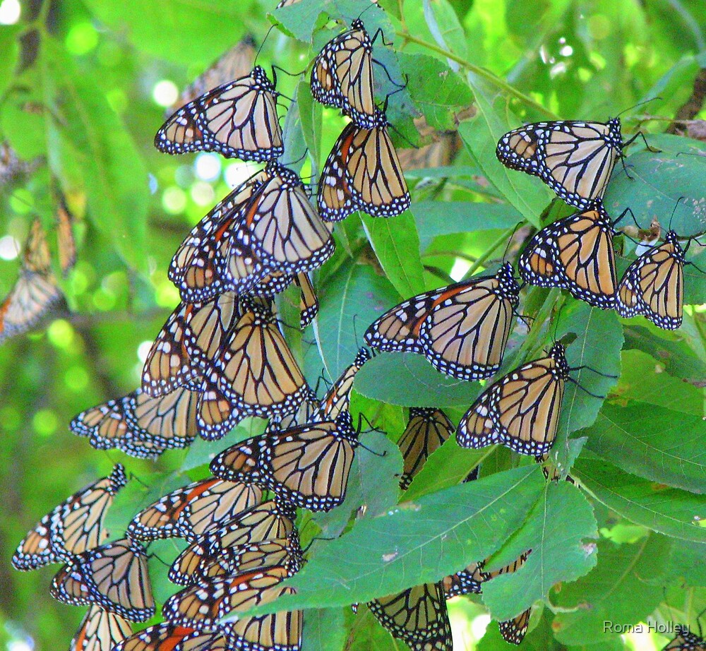 Monarch Butterflies by Roma Holley