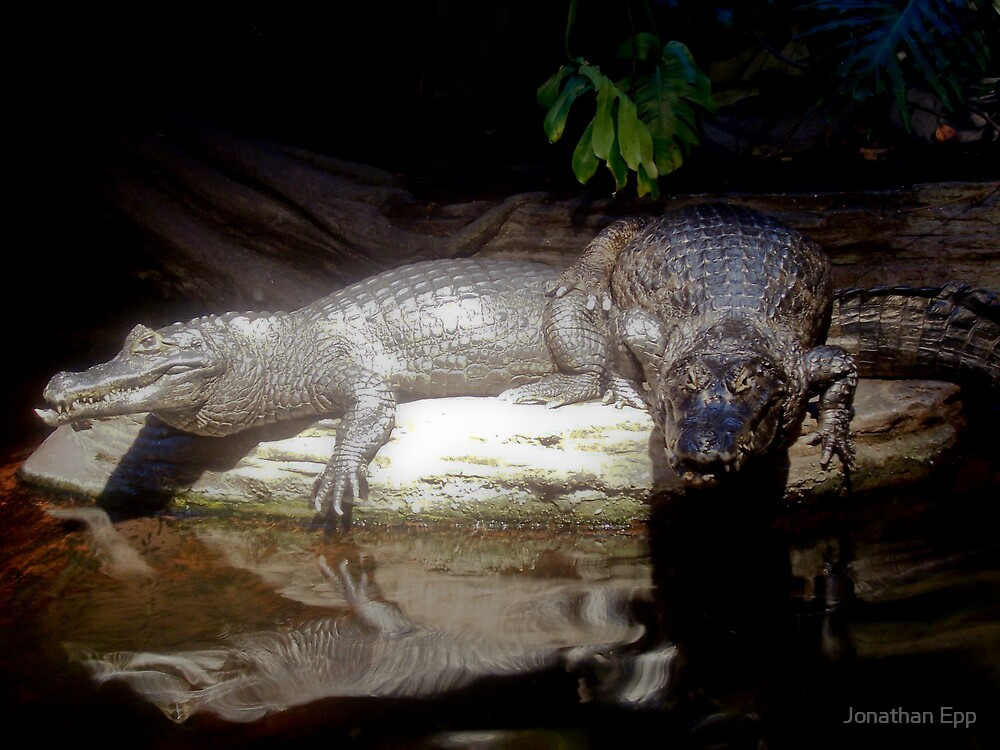 Basking Caimans animal by Jonathan Epp