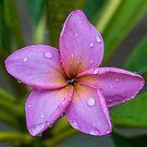 Rainy Day Frangipani by Keith G. Hawley