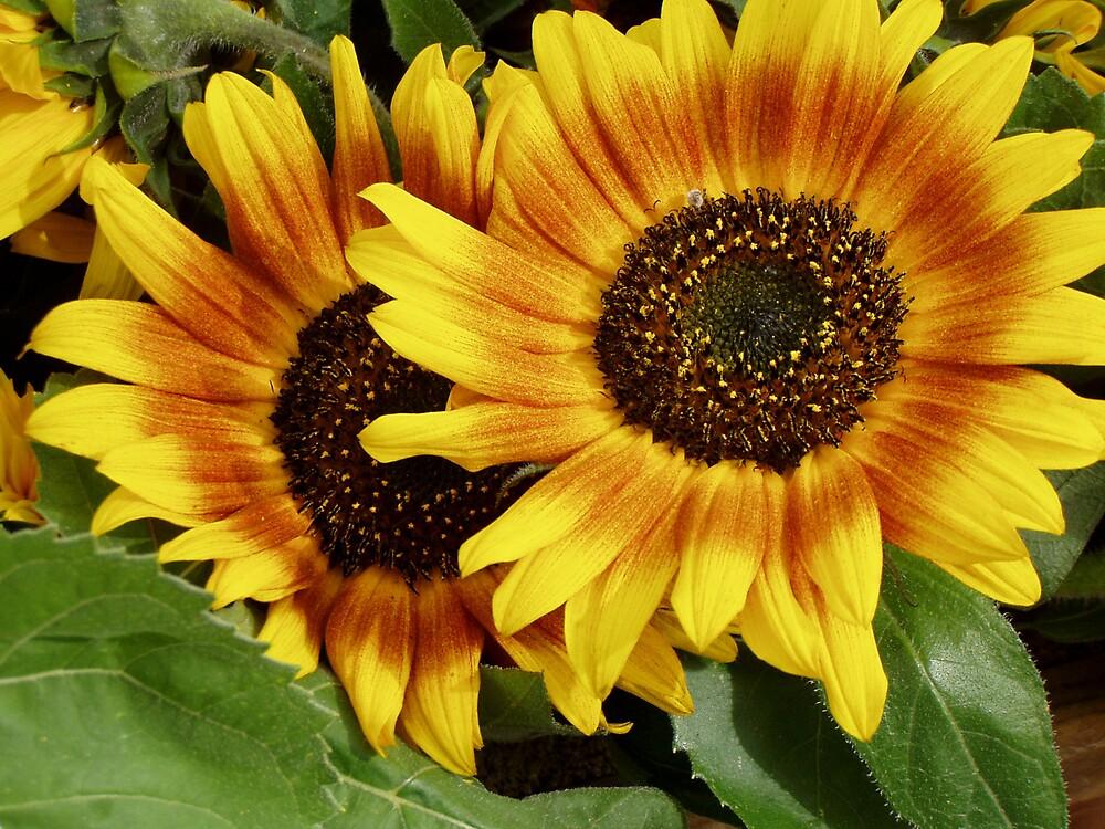 sunflower by minime