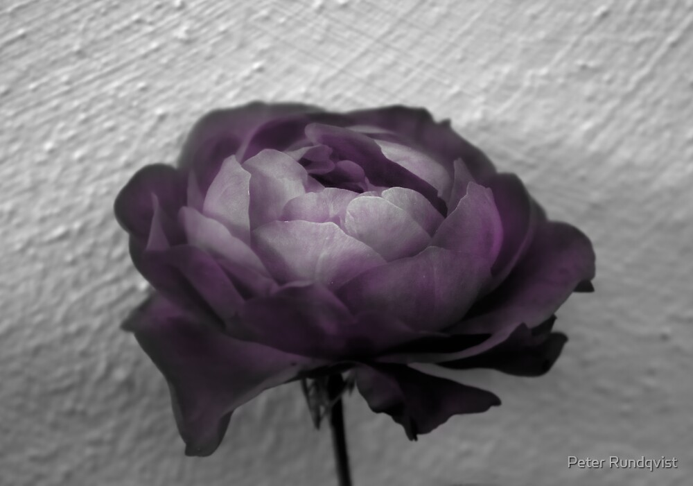 The Purple by Peter Rundqvist
