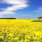 Canola Fields, Ballarat by Matt  Lauder