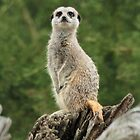 Meerkat on watch! by LisaRoberts