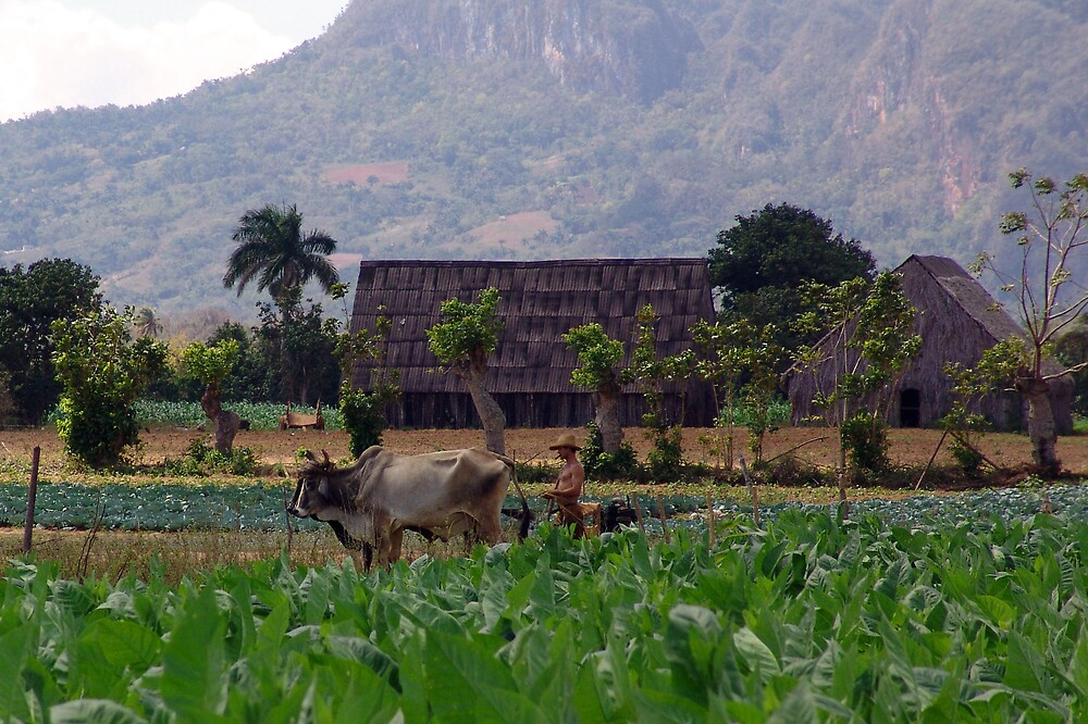 tabacco fields of vinales, cuba by samantha jefferson