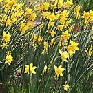 Daffodils 260317v1 by CreativeEm