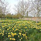 Daffodil Explosion by CreativeEm