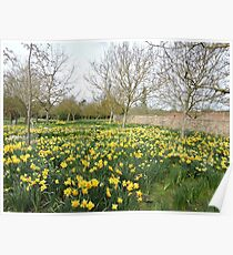 Daffodil Explosion Poster
