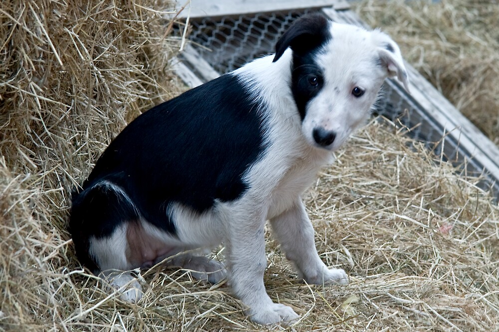 Border Collie Pup by Chris Clark