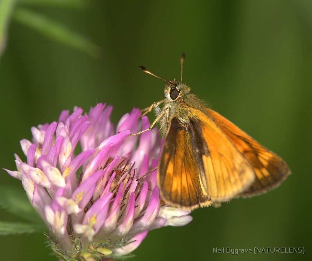 Skipper Butterfly on Purple Clover by Neil Bygrave (NATURELENS)