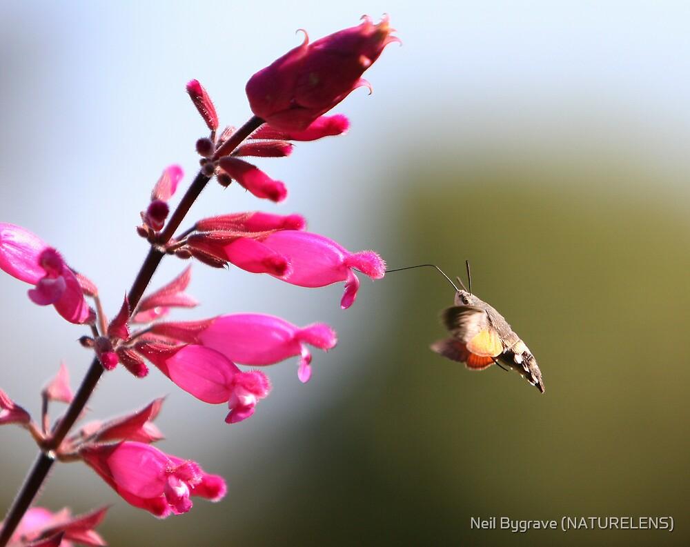 Humming Bird Hawk Moth by Neil Bygrave (NATURELENS)