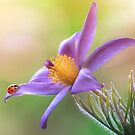 Pasque flower lady by Lyn Evans