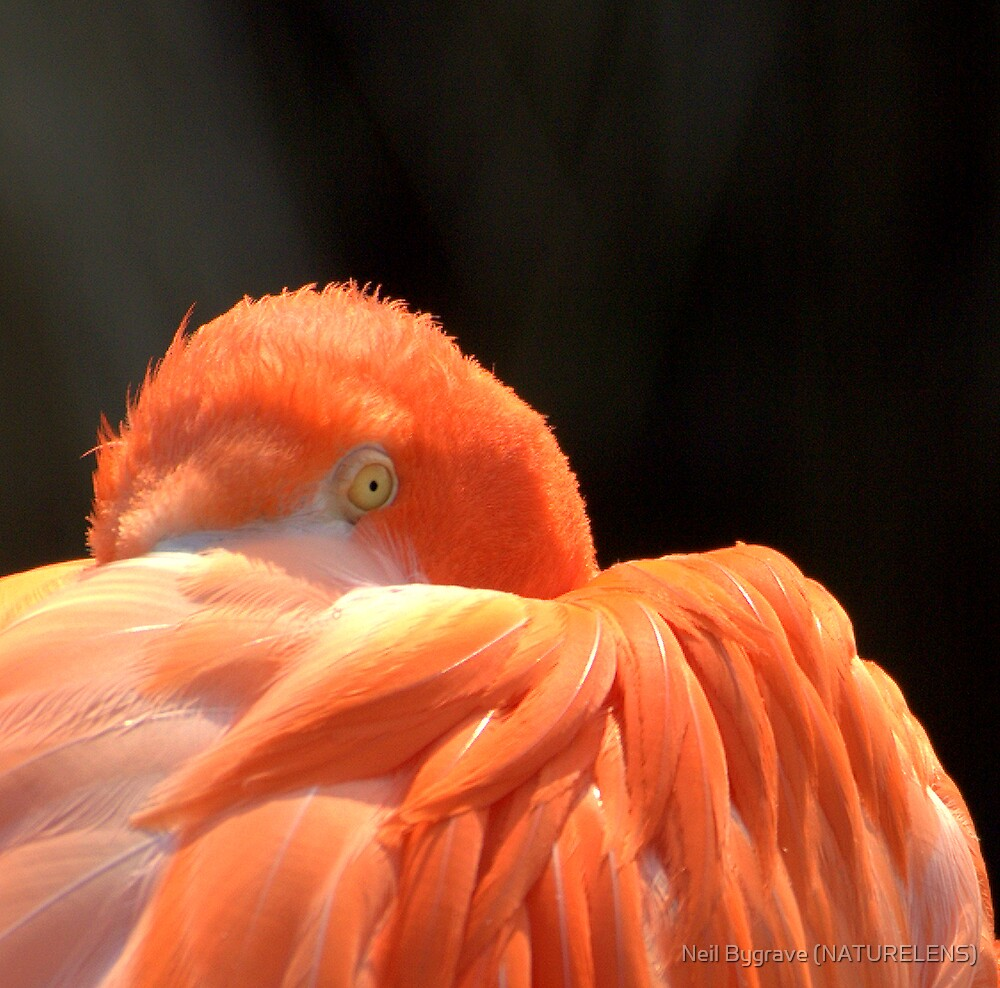 Flamingo - Giving You The Eye by Neil Bygrave (NATURELENS)