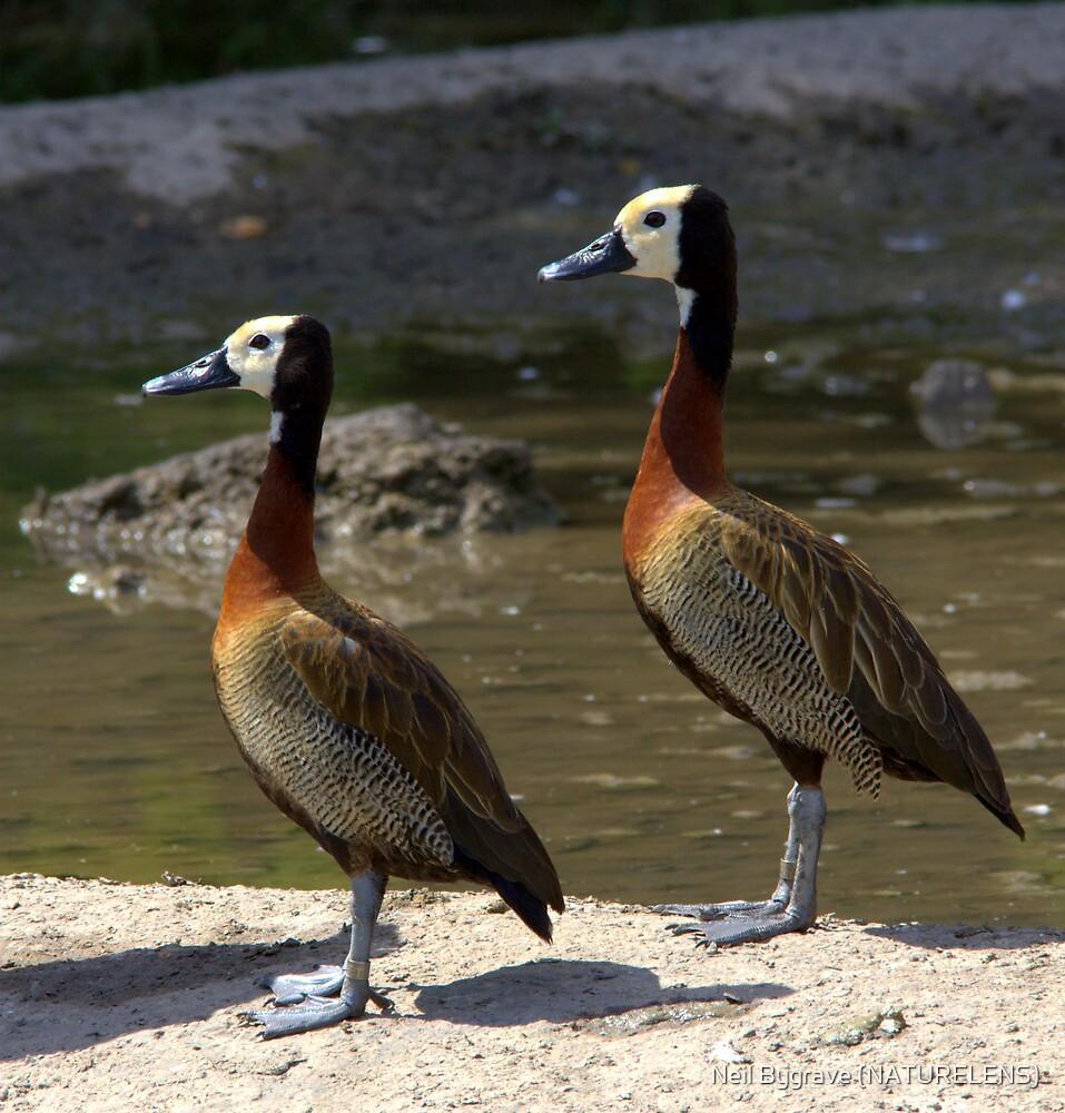 Pair of White Faced Whistling Ducks by Neil Bygrave (NATURELENS)