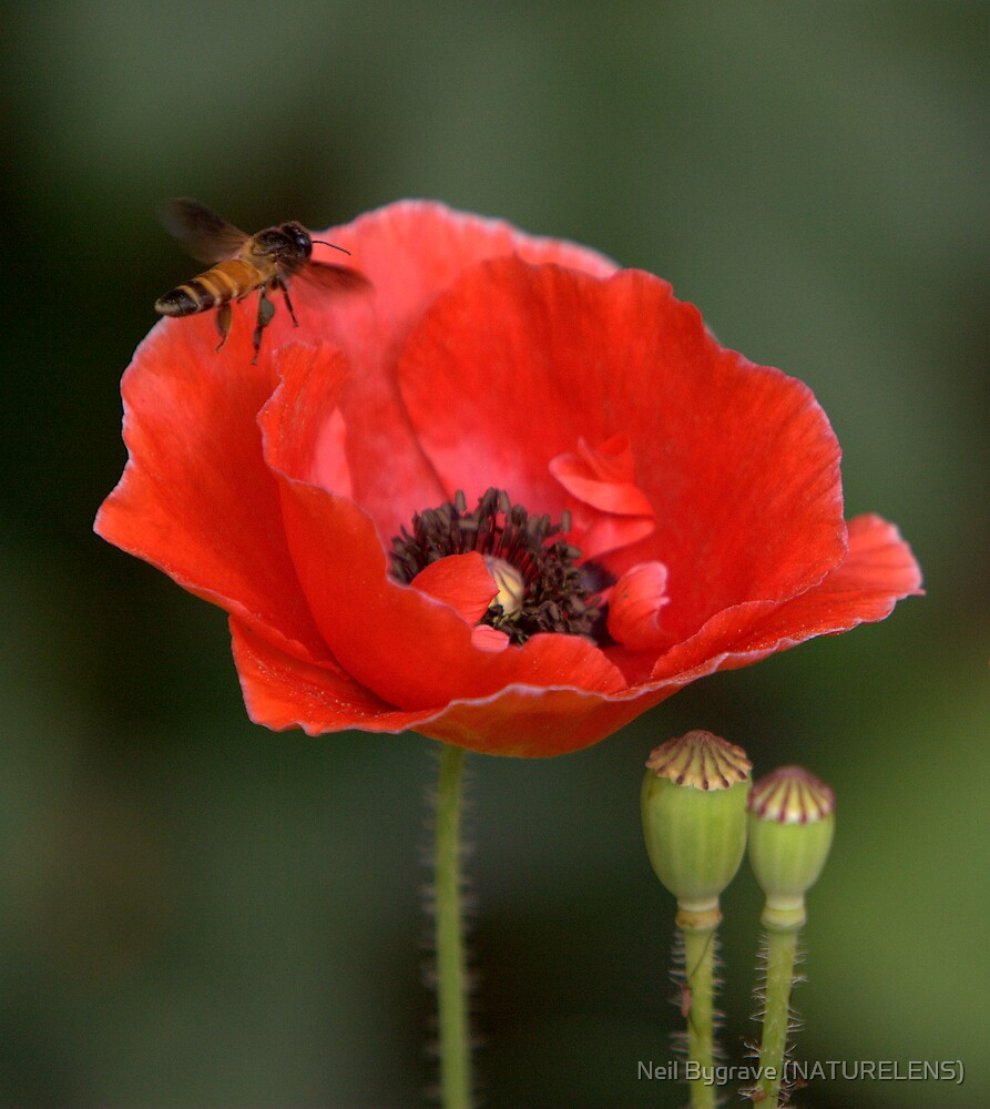 Poppy and Bee by Neil Bygrave (NATURELENS)