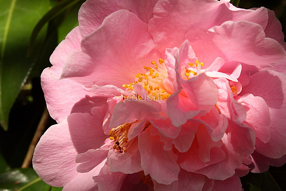 Pink Beauty by cdwork