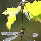 Drangonfly Dance by Paul Lenharr II