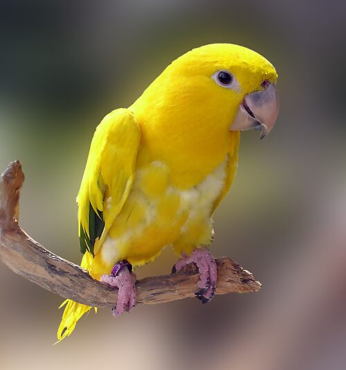 Baby Yellow Conure by Chuck Cannova