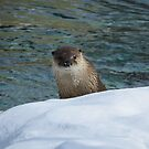 Curious River Otter by caybeach