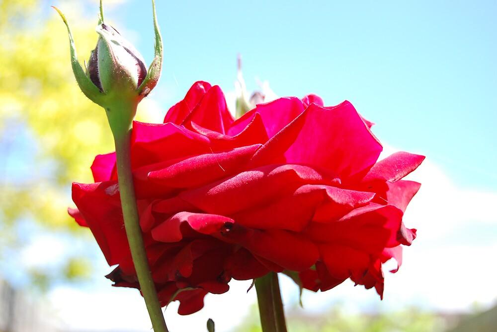 Portrait of a Rose by ahluwalia